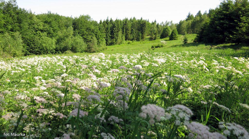 Kwitnące łąki pod Jasieniem, zdj. Maurka