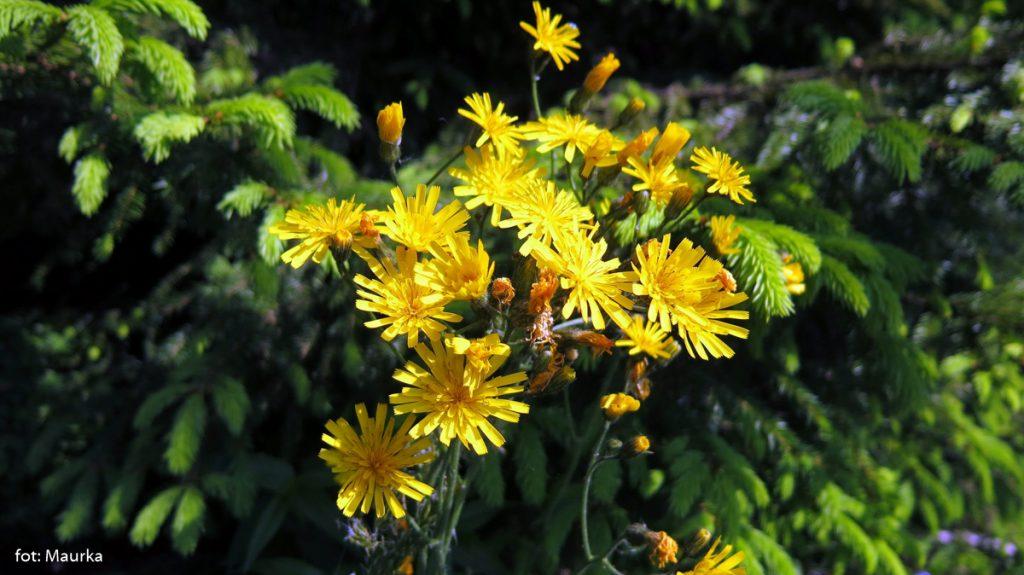 Kwiaty pod Jasieniem, zdj. Maurka