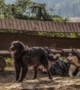 Pies pod Tatrami