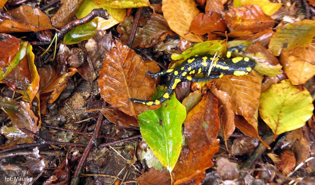 Salamandra w kolorowych liściach