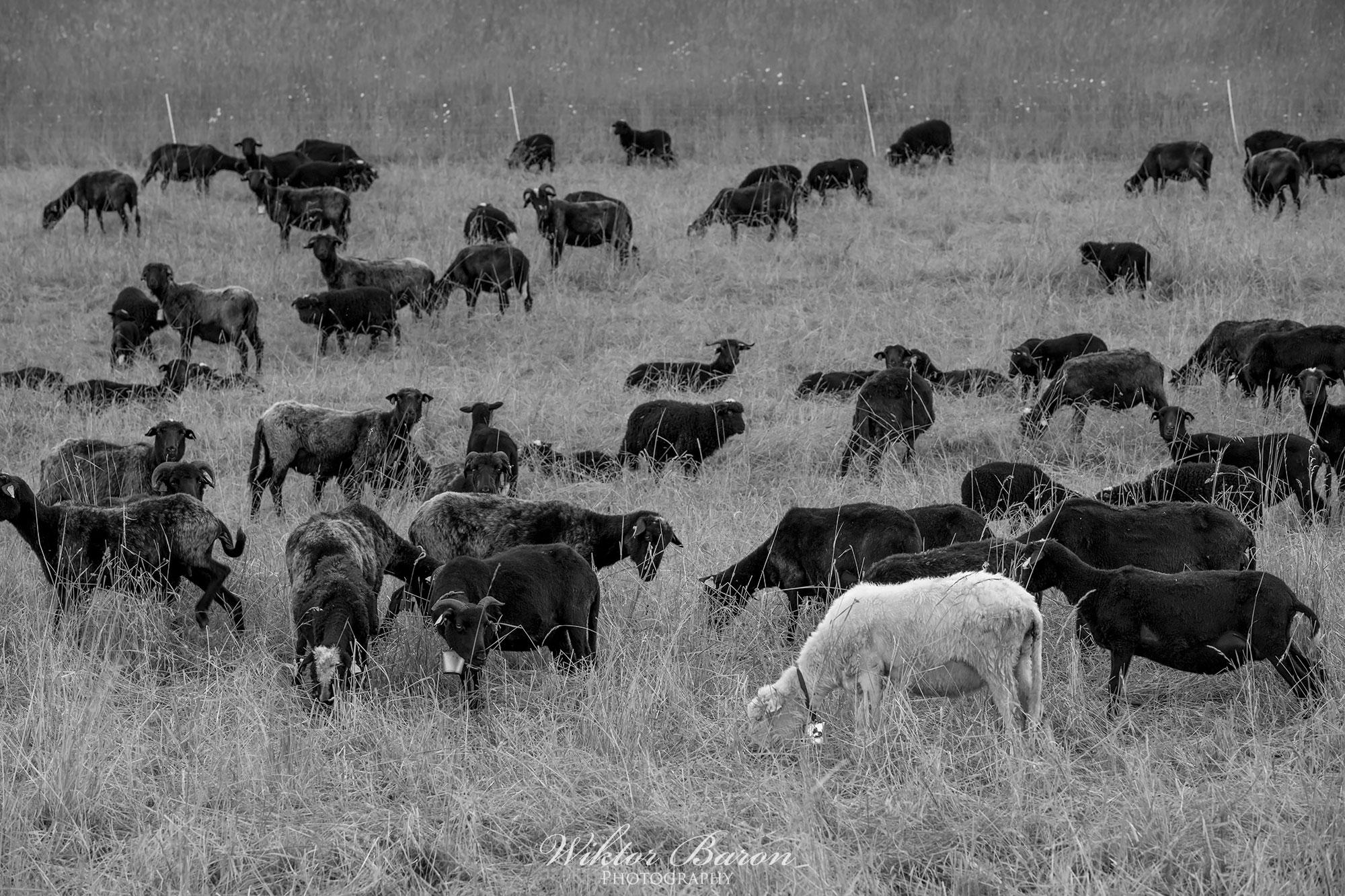 Beskid Wyspowy - Czarna Owca