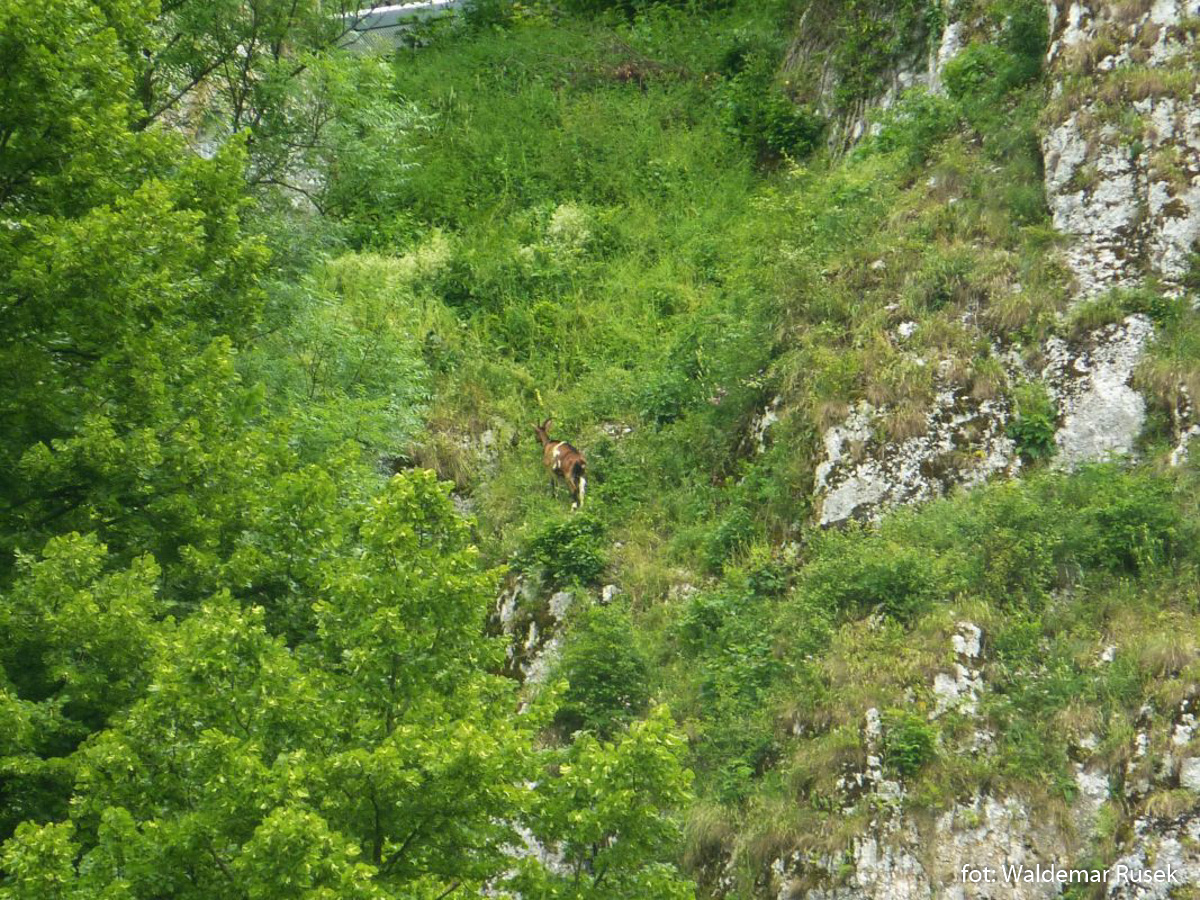 OPN koza na zboczach skały Rękawica
