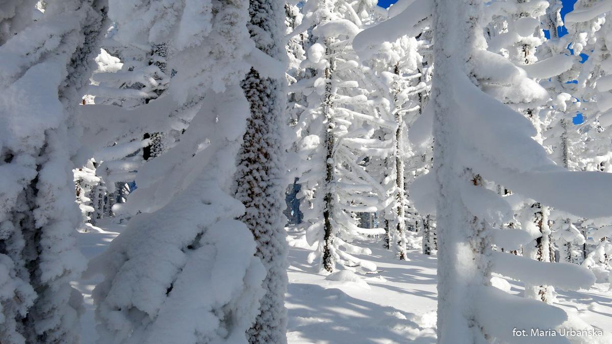 Lodowy las. Na grani pomiędzy Malinowską Skałą, a Skrzycznem