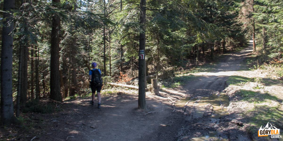 Na grani Cietnia, w lewo zbiega czerwony szlak do Skrzydlnej i żółty do Szczyrzyca