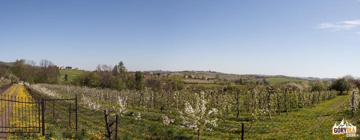 Widok z zielonego szlaku ze Szczyrzyca na Ciecień na kwitnące sady i Górę Św. Jana