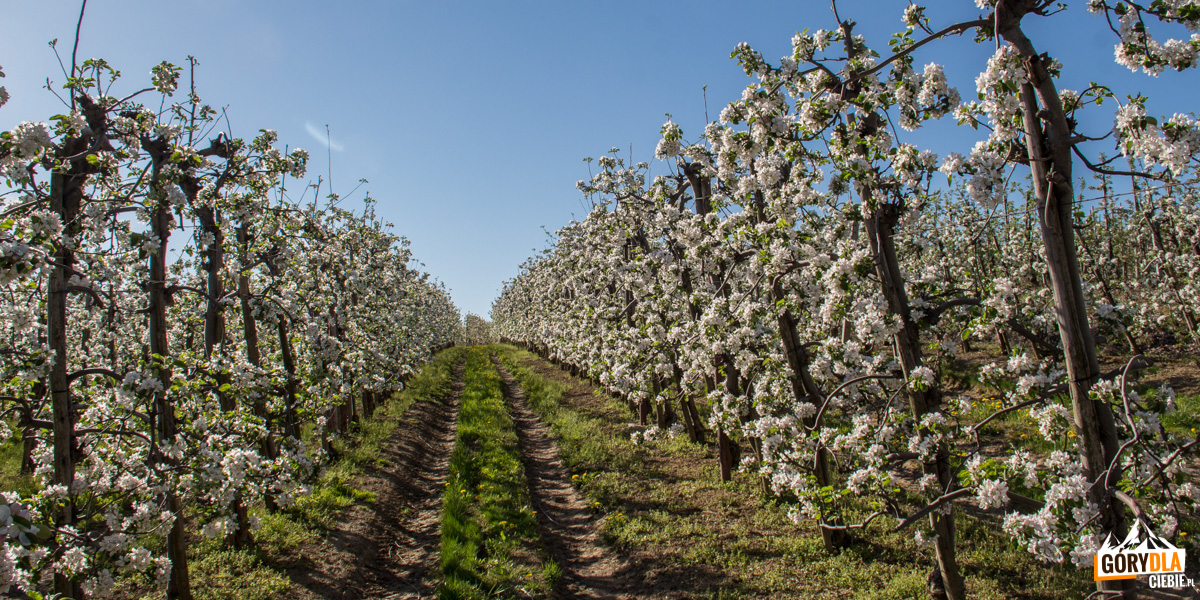 Kwitnące sady w rejonie Góry Św. Jana i Szczyrzyca